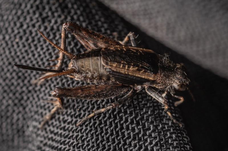 Small field cricket (Bobilla bigelowi) adult female, macropterous. Little Manganuku Stream, Raukumara Forest.