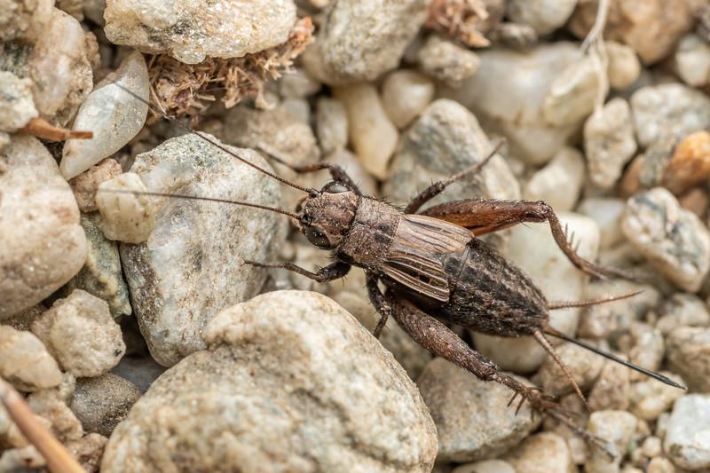 Field cricket (Bobilla nigrovus) adult female. Earnscleugh Tailings, Alexandra, Central Otago.