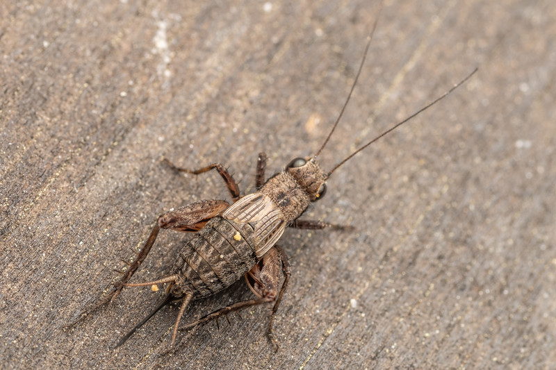 Field cricket (Bobilla nigrovus) adult female. Bannockburn, Central Otago.