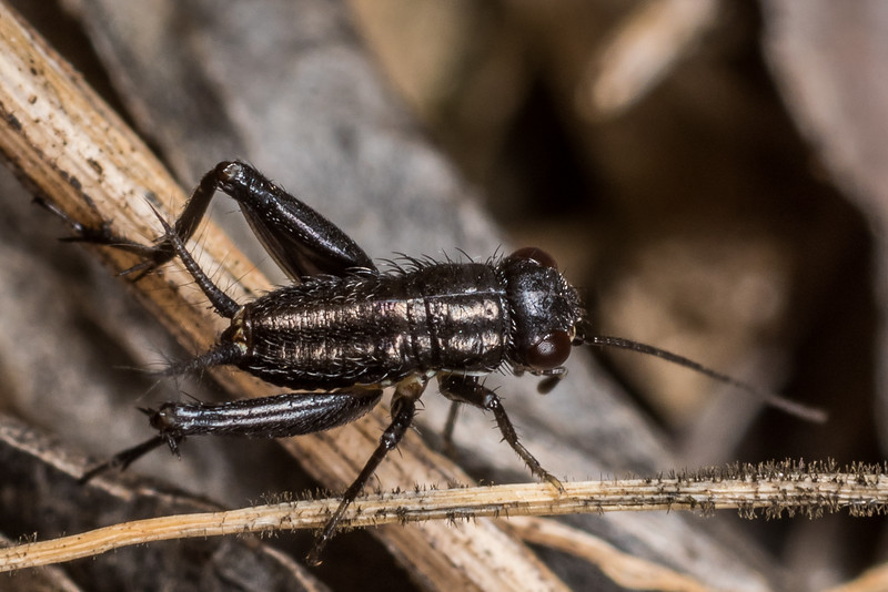Field cricket (Bobilla spp.). Deep Stream, Otago.