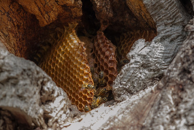 Bee & Honeycomb - Mikkira Station (Sleaford), South Australia