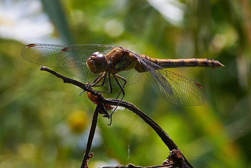 Common Darter Dragonfly <i>(Sympetrum striolatum)</i>