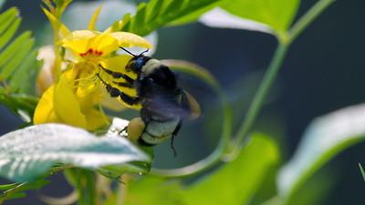 Bumble Bee 01
