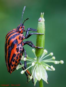 Beetle - Italian Striped-Bug (Graphosoma lineatum)