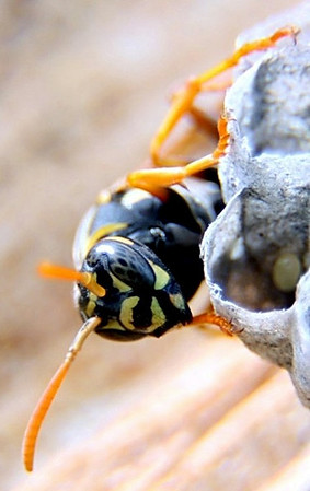 Cropped Wasp