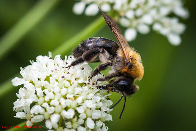 Bee Collecting