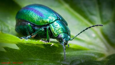 Beetle - Dead Nettle Leaf Beetle (Chrysolina fastuosa)
