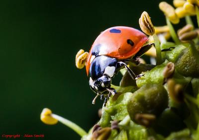 Beetle - Ladybird