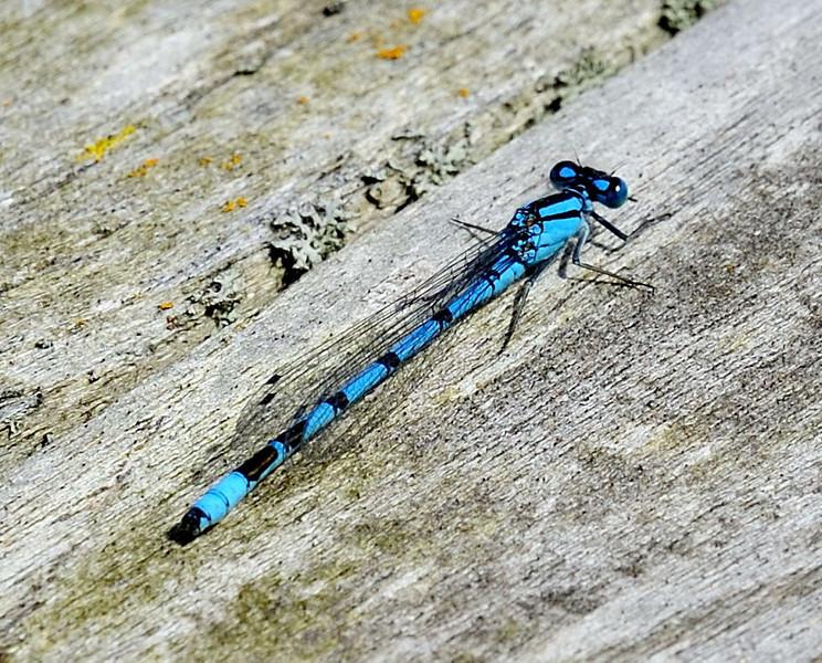 Male common bluetail damselfly <i>(ischura heterosticta)</i>