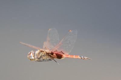 Dragonfly - Clem Walton Reserve (Cloncurry), Queensland