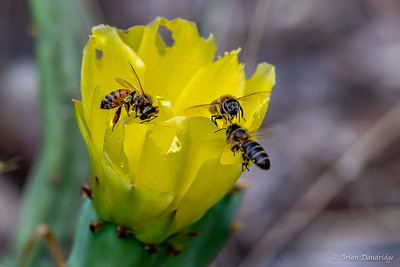 Bees around the Cactus Flower