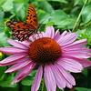 Fritillary on Coneflower