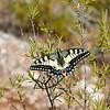 Swallowtail Butterfly, Algarve, Portugal