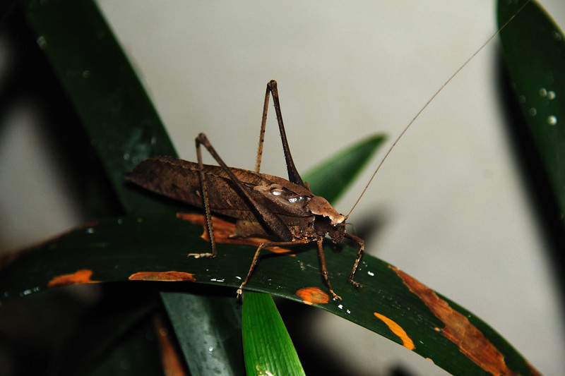 A katydid or bush-cricket of the family Tettigoniidae - more than 2 inches long.  Photographed in Burma.