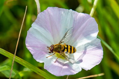 Hoverfly (Epistrophe grossulariae)
