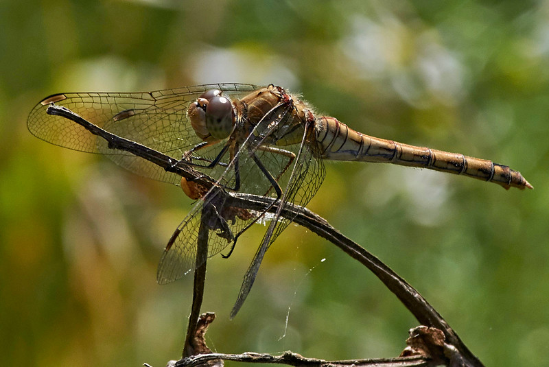 Common Darter Dragonfly <i>(Sympetrum striolatum)</i>