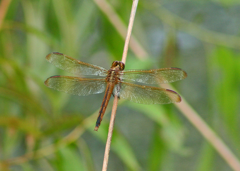 Olive Colored Dragonfly