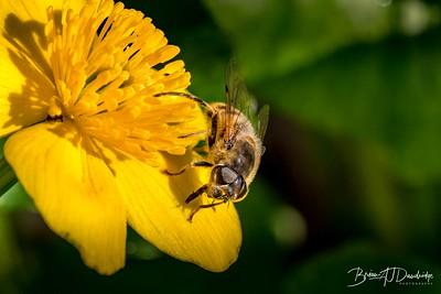Fly on a Marsh Marigold
