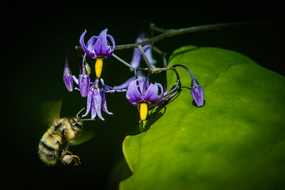 Nightshade with a bee