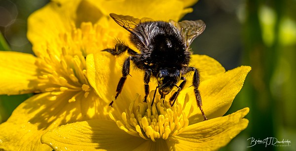 Bumble-Bee on a Marsh Marigold
