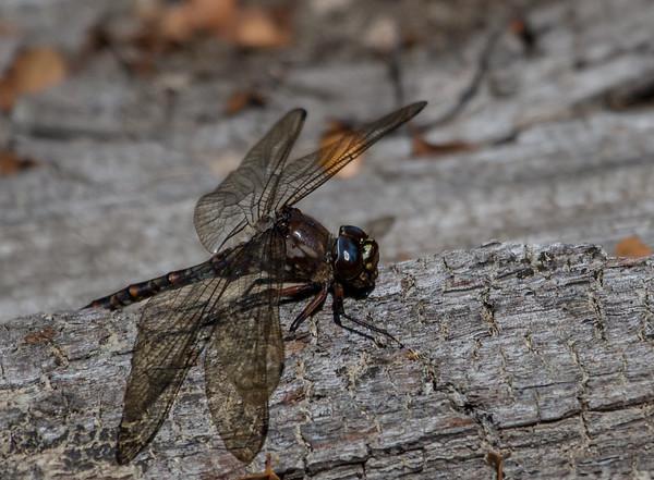 Dragonfly - Styx Valley, Tasmania