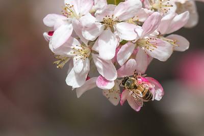 Bee - Botanic Gardens (Dubbo), New South Wales