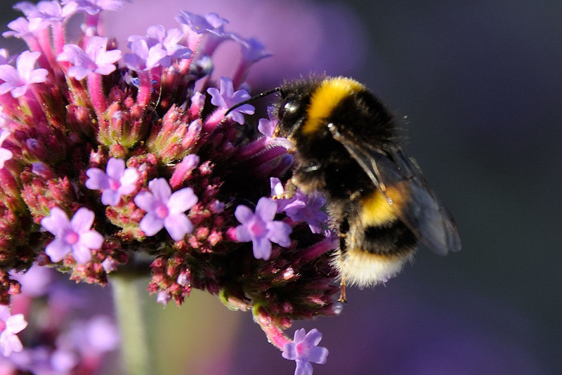 Bumble bee on the Verbena.