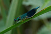 Male common bluetail damselfly <i>(ischura heterosticta)</i>