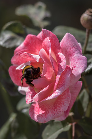 Bee - Deloraine, Tasmania