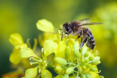 Bee Closup