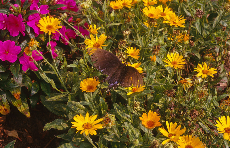While photographing flowers, I get a bonus, a passing butterfly.