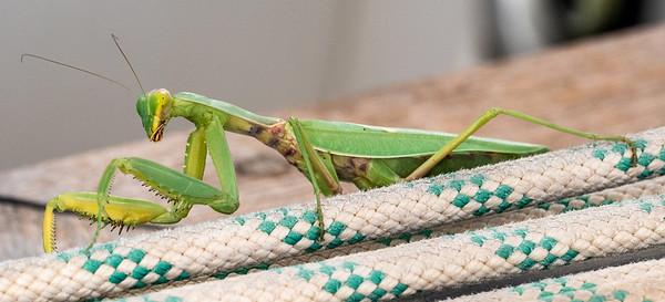 The European Mantis, or Mantis religiosa
