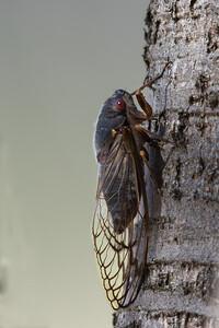 Redeye Cicada (Psaltoda moerens) - Winton Wetlands, Victoria