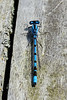 Male common bluetail damselfly (ischura heterosticta)