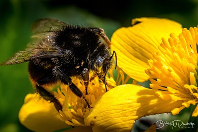 Bumble Bee with Mites on a Marsh-Marigold