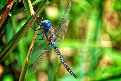 The Blue-eyed Darner Dragonfly