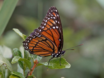 Monarch Butterfly, Kissimmee Prairie Preserve State Park