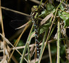 Migrant Hawker Dragonfly <i>(Aeshna mixta)</i>