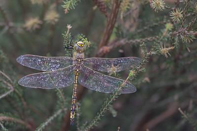 Australian Emperor (Hemianax papuensis) - Winton Wetlands, Victoria