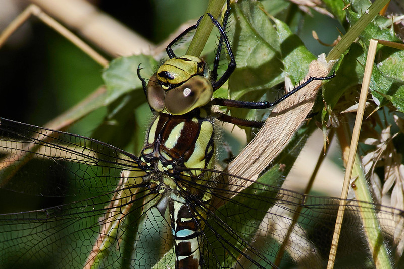 Migrant Hawker Dragonfly <i>(Aeshna mixta)</i> <br>Detail of head and thorax