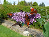 Butterflies on the Buddleia.<br /> 21st September 2008.