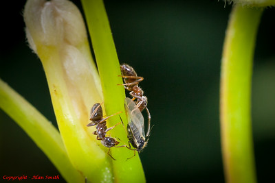 Antswith Black Fly
