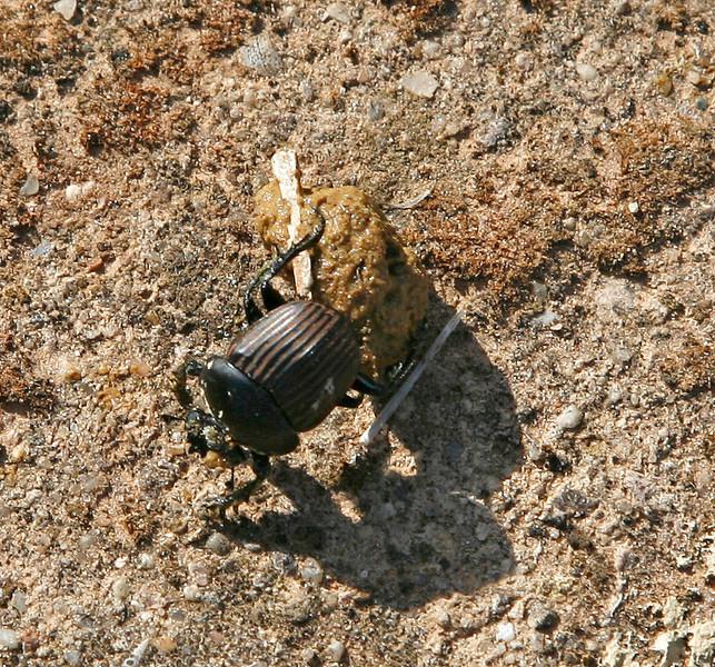 Dung Beetle, Algarve, portugal