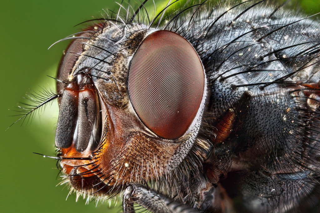 Blow Fly (Calliphoridae), Both a pollinator and scavenger they are both helpful and ecologically problematic carrying various diseases. They are often used as forensic tools to detect dead tissue.<br /> <br /> This image is a deep focus stack of 14 slices taken hand held at f/6.3 with a magnification of 5x alive in the field. The final composition is the result of some experimentation using about 4 stacks of the same slices. I used 3 different algorithms and composited them together to avoid contrast halos, contrast changes, color changes, and keep hair alignment. <br /> <br /> Keeping the aperture wider held back some of the extreme detail loss generally caused by diffraction at high magnifications.  So looking at the high res version in this case is worth it.