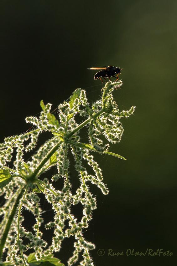 Flue på nesle