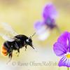 Steinhumle på nektarjakt