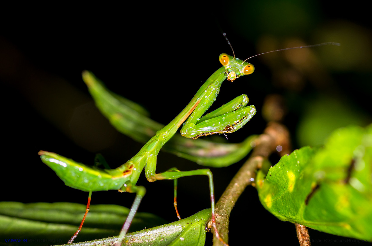 Mantis sp.