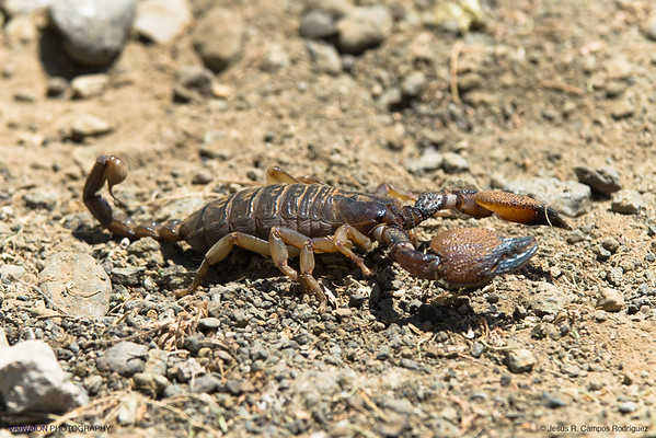 A scorpion found in Africa