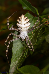 "Argiope lobata.  A shining ""metallic"" spider."