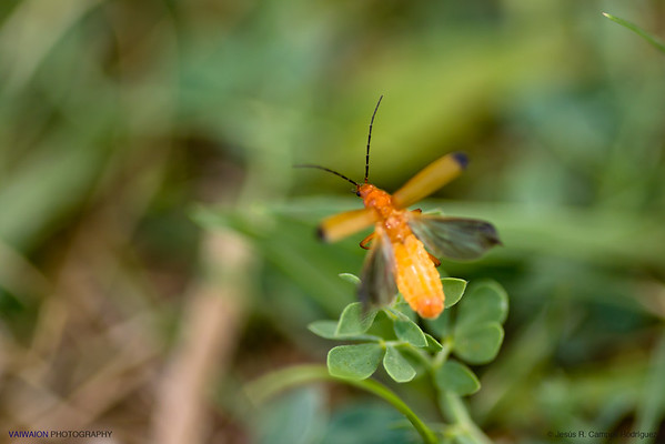 Flying Red Soldier Beetle in a Green World